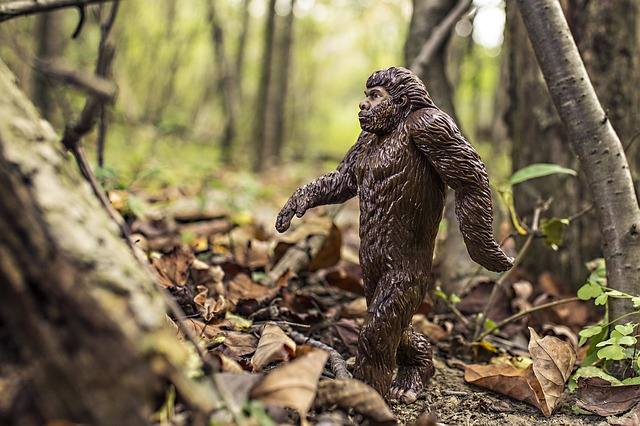 A toy Sasquatch walking in the woods. Sasquatch or Bigfoot is a hairy ape like hominid that many people believe exists in North America.