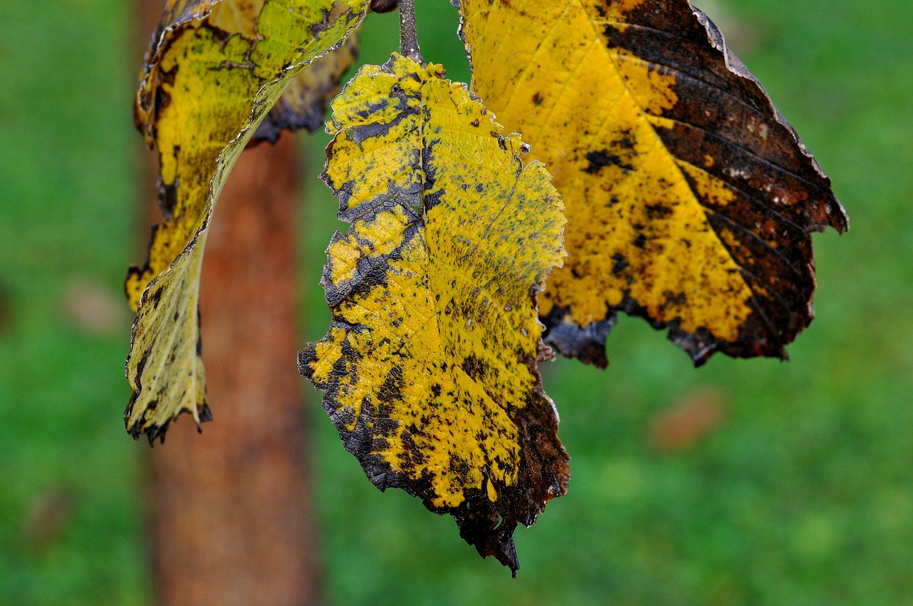 Three elm leaves that are yellow and dying. The elm leaves have holes on the edges. There is a black or dark brown color on the edges as well. Elm Phloem Necrosis