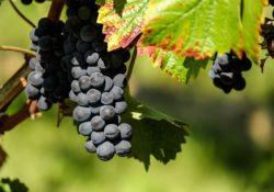 grapes-flavescence-doree-plant-pathology-cure