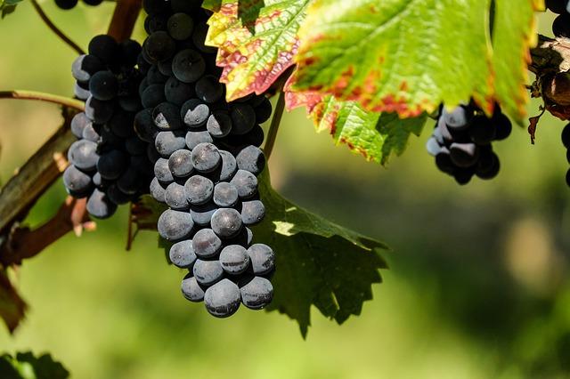 grapes, flavescence doree, plant pathology, cure