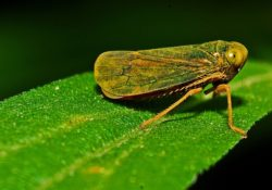 A Leafhopper on a leaf. Leafhoppers are insects that are common pests to plants. Leafhoppers can also spread elm phloem necrosis.