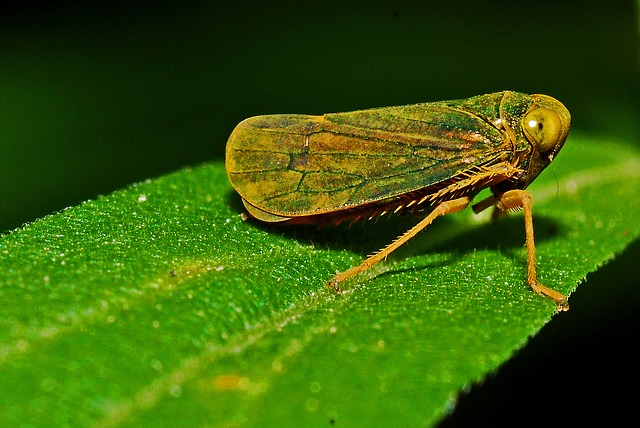 A Leafhopper on a leaf. Leafhoppers are insects that are common pests to plants. Leafhoppers can also spread elm phloem necrosis. Elm Yellows.