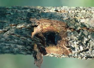 Symptoms of butternut canker disease, Dead tissue in the bark.